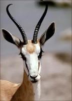 Gazelle-143x200